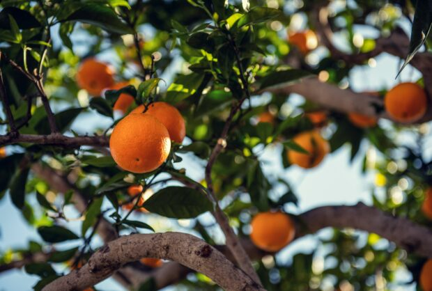 Psila-africana-dos-citrinos